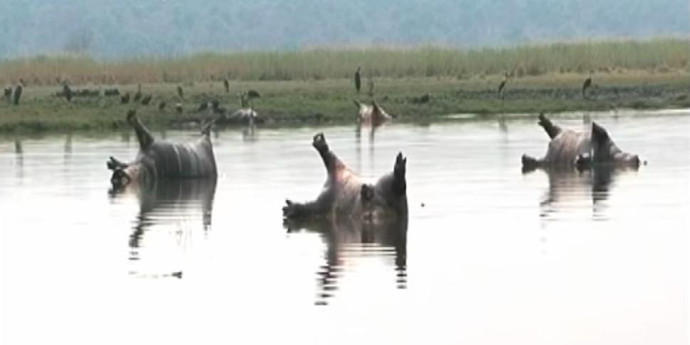 Вспышку сибирской язвы подозревают в убийстве более 100 бегемотов