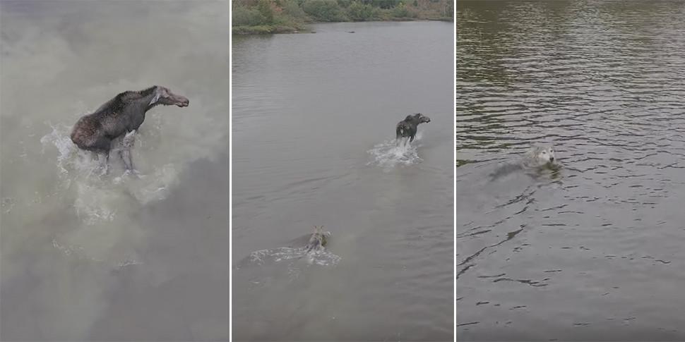 Любительский дрон спас лося от волчьих клыков