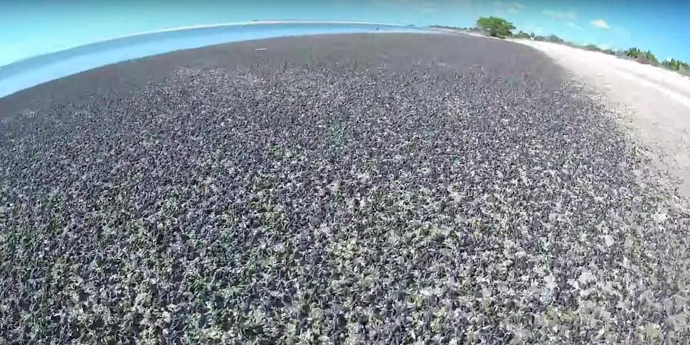 Видеофакт: тысячи слизней оккупировали пляж во Флориде