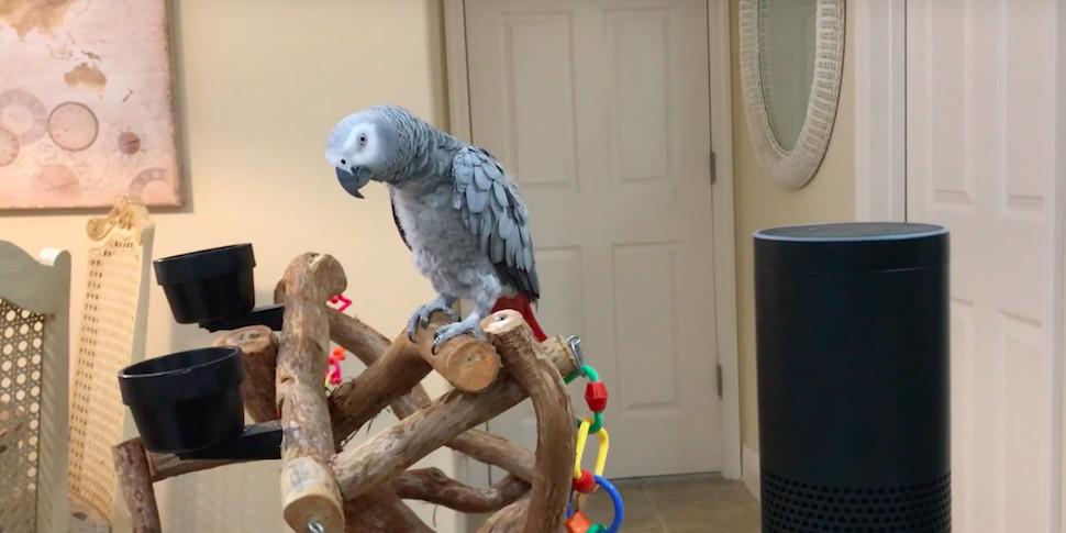 Попугай научился разговаривать со смарт-колонкой Amazon Echo
