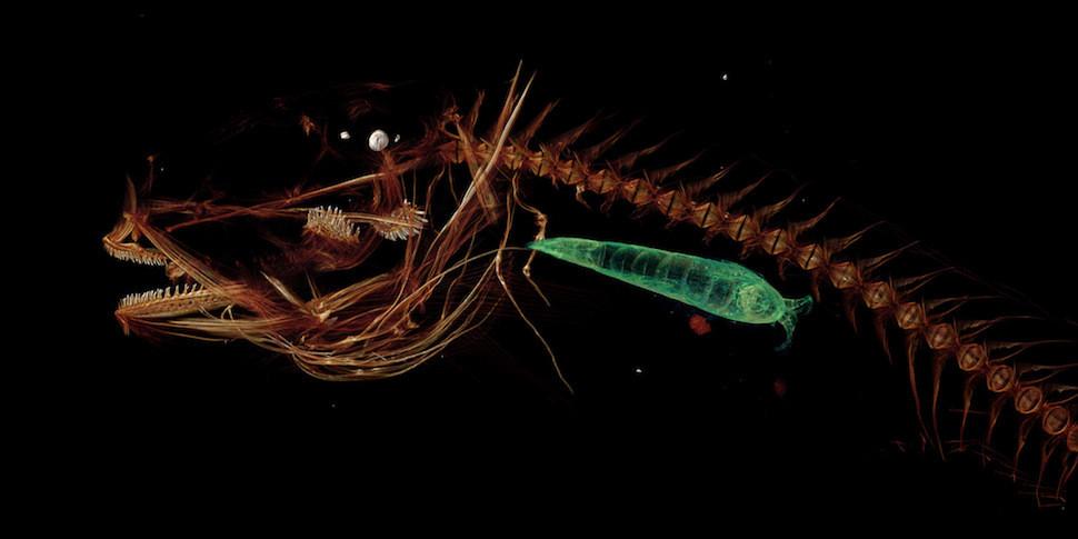 Так выглядит рыба, пойманная на глубине почти 8 километров